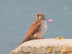 Kestrel photographed at Les Amarreurs [AMM] on 11/12/2012. Photo: © Tracey Henry
