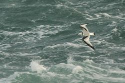 Kittiwake photographed at Chouet Hide [CHH] on 30/12/2012. Photo: © Dave Andrews