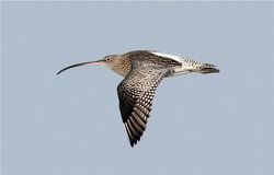 Curlew photographed at Perelle Bay on 30/12/2012. Photo: © Nick Dean