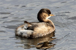 Little Grebe photographed at Vale Pond [VAL] on 27/12/2012. Photo: © Nick Dean