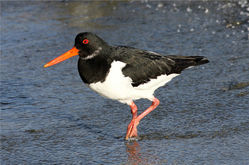 Oystercatcher photographed at Belle Greve Bay [BEL] on 25/12/2012. Photo: © Nick Dean