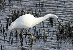 Little Egret photographed at Vale Pond on 27/12/2012. Photo: © Nick Dean