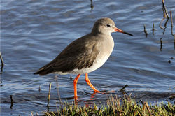 Redshank photographed at Vale Pond [VAL] on 27/12/2012. Photo: © Nick Dean