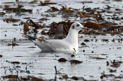 Black-headed Gull photographed at L'Eree [LER] on 30/12/2012. Photo: © Nick Dean