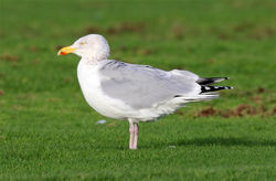 Herring Gull photographed at L'Ancresse [LAN] on 30/12/2012. Photo: © Nick Dean