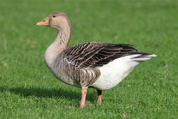Greylag Goose photographed at Colin Best NR [CNR] on 30/12/2012. Photo: © Nick Dean