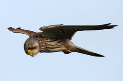 Kestrel photographed at Ladies Bay on 30/12/2012. Photo: © Nick Dean