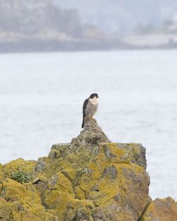 Peregrine photographed at Belle Greve Bay [BEL] on 5/1/2013. Photo: © Cindy  Carre