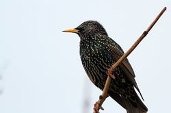 Starling photographed at Rousse [ROU] on 11/1/2013. Photo: © Simon Murfitt
