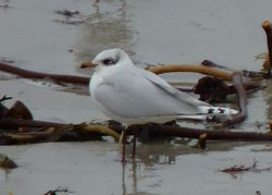 Mediterranean Gull photographed at Cobo [COB] on 14/1/2013. Photo: © Kevin Childs