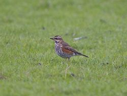 Redwing photographed at Colin Best NR [CNR] on 20/1/2013. Photo: © Royston Carr�