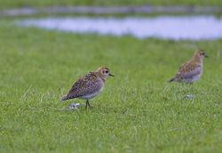 Golden Plover photographed at Colin Best NR [CNR] on 20/1/2013. Photo: © Royston Carr�