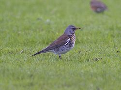 Fieldfare photographed at Colin Best NR [CNR] on 20/1/2013. Photo: © Royston Carr�