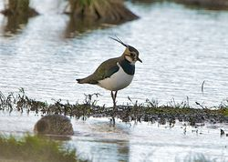 Lapwing photographed at Colin Best NR [CNR] on 15/1/2013. Photo: © Royston Carr�