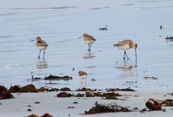 Bar-tailed Godwit photographed at Vazon [VAZ] on 21/1/2013. Photo: © Tracey Henry