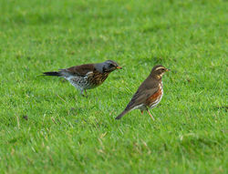 Fieldfare photographed at Colin Best NR [CNR] on 21/1/2013. Photo: © Mike Cunningham