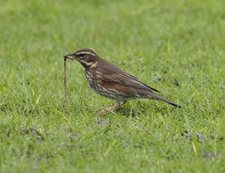 Redwing photographed at Colin Best NR [CNR] on 22/1/2013. Photo: © Royston Carr�