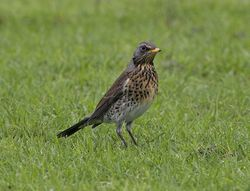Fieldfare photographed at Colin Best NR [CNR] on 22/1/2013. Photo: © Royston Carr�
