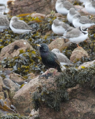 Starling photographed at Fort Hommet [HOM] on 22/1/2013. Photo: © Cindy  Carre