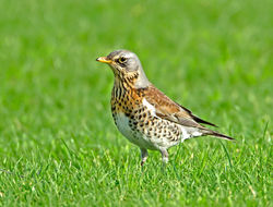 Fieldfare photographed at Colin Best NR [CNR] on 23/1/2013. Photo: © Mike Cunningham