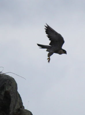 Peregrine photographed at Houmet Paradis Island [HO5] on 11/1/2013. Photo: © Lydia Miller