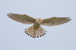 Kestrel photographed at Fort Hommet [HOM] on 23/1/2013. Photo: © Adrian Gidney