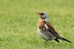 Fieldfare photographed at Route de Carteret on 24/1/2013. Photo: © Simon Murfitt