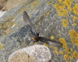 Black Redstart photographed at Grandes Rocques [GRO] on 26/1/2013. Photo: © Cindy  Carre