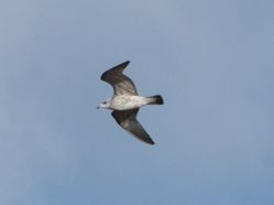 Common Gull photographed at Rue des Hougues, STA [H04] on 27/1/2013. Photo: © Mark Guppy