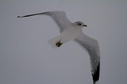 Common Gull photographed at Norfolk on 20/1/2013. Photo: © Vic Froome