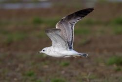Common Gull photographed at Rue des Hougues, STA [H04] on 27/1/2013. Photo: © Vic Froome