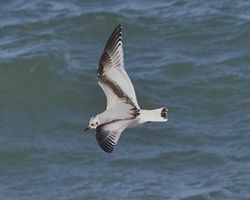 Little Gull photographed at Cobo [COB] on 30/1/2013. Photo: © Cindy  Carre