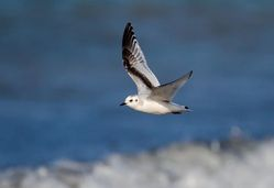 Little Gull photographed at Cobo [COB] on 30/1/2013. Photo: © Vic Froome