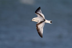 Little Gull photographed at Cobo [COB] on 30/1/2013. Photo: © Chris Bale