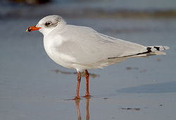 Mediterranean Gull photographed at Cobo [COB] on 30/1/2013. Photo: © Chris Bale