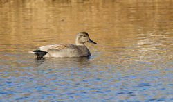 Gadwall photographed at Grande Mare [GMA] on 2/2/2013. Photo: © Anthony Loaring