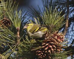 Siskin photographed at Saumarez Park [SAU] on 18/2/2013. Photo: © Cindy  Carre