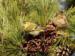 Siskin photographed at Saumarez Park [SAU] on 20/2/2013. Photo: © Anthony Loaring