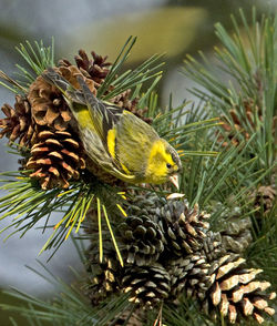 Siskin photographed at Saumarez Park [SAU] on 21/2/2013. Photo: © Mike Cunningham