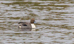 Pintail photographed at Vale Pond [VAL] on 24/2/2013. Photo: © Anthony Loaring