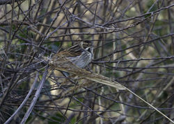 Reed Bunting photographed at Rue des Belles on 4/3/2013. Photo: © Vic Froome
