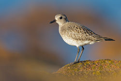 Grey Plover photographed at Grandes Rocques [GRO] on 16/2/2013. Photo: © steve levrier