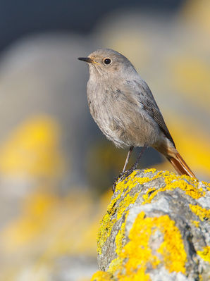 Black Redstart photographed at Fort Saumarez [FSA] on 16/2/2013. Photo: © steve levrier