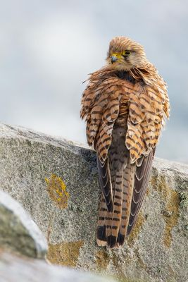 Kestrel photographed at Fort Le Crocq [FLC] on 3/3/2013. Photo: © steve levrier