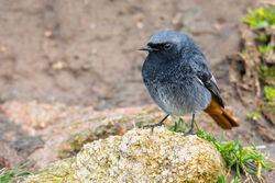 Black Redstart photographed at Grandes Rocques [GRO] on 2/2/2013. Photo: © steve levrier