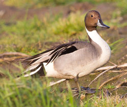 Pintail photographed at Rue des Belles on 7/3/2013. Photo: © Anthony Loaring