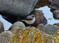 Wheatear photographed at Jaonneuse [JAO] on 9/3/2013. Photo: © Tracey Henry