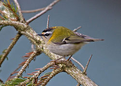 Firecrest photographed at St Peter Port [SPP] on 10/3/2013. Photo: © Mike Cunningham