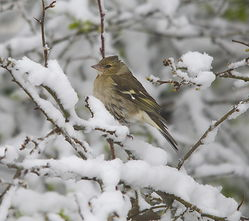 Chaffinch photographed at St Sampsons on 11/3/2013. Photo: © Karen Jehan