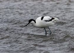Avocet photographed at Colin Best NR [CNR] on 12/3/2013. Photo: © Vic Froome